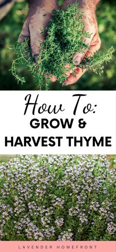 Growing and Harvesting Thyme How to grow and harvest thyme. The ultimate guide to harvesting thyme. Balcony Plants, Garden Plants, Garden Beds, Indoor Plants, Gardening For Beginners, Gardening Tips, Thyme Flower, Thyme Plant, Diy Herb Garden