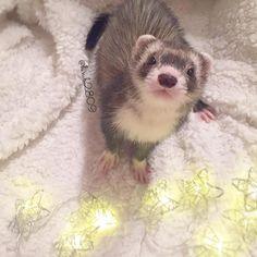 . . . Hi OMGlittle angel . . ナルトがショップにいた時POPにイケメンフェレットと書かれていました (イケメンに弱すぎ)← . ボーちゃんはオコジョさん似と書かれていました . 皆さんは何か書かれていましたか❔♀️ . . . 懐かしいなぁ..... #instaphoto#animal#animals#animaladdicts#pet#pets#love#petstagram#cutepetclub#cute#kawaii#adorable#funny#instagramjapan#instacute#instaanimal#instapet#ferret#ferrets#IGersJP#tagsforlikes#tflers#photooftheday#animallovers#bestanimal#magnificent#beautiful