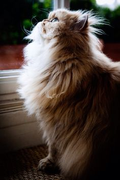 Cute animal: Tan beige cream coloured persian cat (dja)