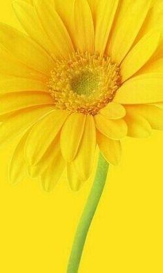 Yellow daisy wallpaper