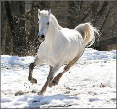 Horse / White Stallion