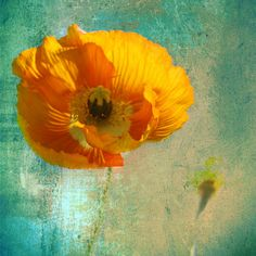 Yellow poppy Fine Art Photography by AnneSolfud on Etsy, $15.00