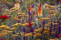 Kniphofia (better known as red hot pokers ~ I planted these in my yard & they are glorious! ~Salvia and Achillea