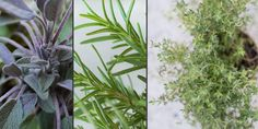 Plant details of tricolor sage, common rosemary, and English thyme, which are aesthetically pleasing together in containers. #dwell #howto #homegardening #gardeningforbeginners #newnormal #vegetablegarden