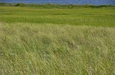 Toward Sengekontacket; State Beach; Edgartown, Martha's Vineyard, Massachusetts, USA.  August 2014.