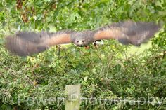 Wildlife Photograph of a Hawk in flight by LovingWhisperPhotos