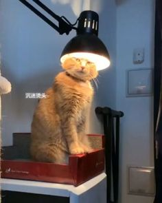 Not my brightest idea - your daily dose of funny cats - cute kittens - pet memes - pets in clothes - kitty breeds - sweet animal pictures - perfect photos for cat moms Funny Animal Memes, Funny Cat Videos, Cute Funny Animals, Funny Animal Pictures, Cute Baby Animals, Cat Memes, Funny Cats, Funny Memes, Funny Wuotes