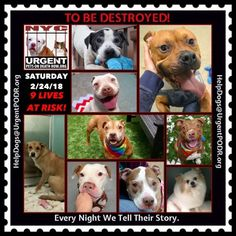 TO BE DESTROYED 02/24/18 - - Info    https://newhope.shelterbuddy.com/Animal/List  To rescue a Death Row Dog, Please read this:http://information.urgentpodr.org/adoption-info-and-list-of-rescues/ List of NH Rescues:http://www.nycacc.org/get-involved/new-hope/nhpartners To view the full album, please click ...-  Click for info & Current Status: http://nycdogs.urgentpodr.org/to-be-destroyed-4915/