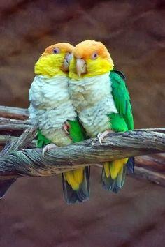 LOVE BIRDS シロハラインコ
