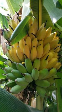 There are banana varieties that can withstand temperature drops and grows well in containers or pots, popular especially among the fans of exotic tropical fruit plants. Banana Fruit, Banana Plants, Fruit Plants, Fruit Garden, Fruit And Veg, Fruits And Veggies, Fresh Fruit, Best Fruits, Healthy Fruits