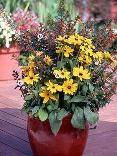 Top Butterfly Container Garden Ideas: Create a Fall Look: A. Black-eyed Susan (Rudbeckia 'Indian Summer') -- 1;  B. Firecracker plant (Cuphea ignea 'David Verity') -- 3;  C. Salvia splendens 'Hotline Red' -- 2