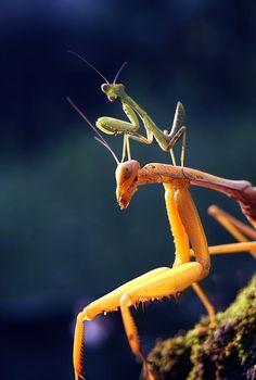 Mantises (or mantes) closeup by budi 'ccline' Beautiful Creatures, Animals Beautiful, Mantis Religiosa, Piggy Back Ride, Micro Photography, Cool Bugs, A Bug's Life, Beautiful Bugs, Praying Mantis