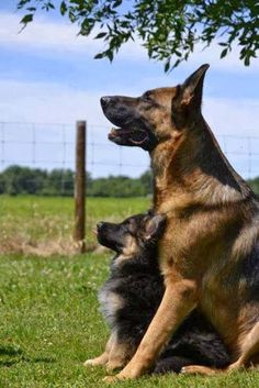 German Shepherd with Pup. The look on this papa-dog's face! It inspires me to be a better parent.