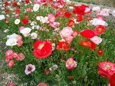 Poppies - Falling in Love