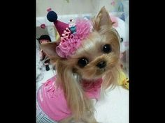 "AdorableYorkies - World's Smartest Cutest #Yorkies - ""BABY FACE""/1 ..."