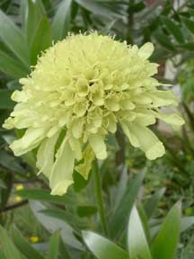 Cephalaria gigantea or 'Giant Pincushion'.  Sturdy, branching stems.  Blooms are 3 inches across and soft yellow.  Attractive to bees and butterflies.  6 to 7 feet tall.  Self sows.