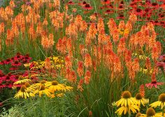 Red hot poker Kniphofia 'Ember Glow' with Echinacea