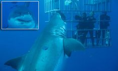 Incredible moment 20ft great white shark tries to bite divers' cage