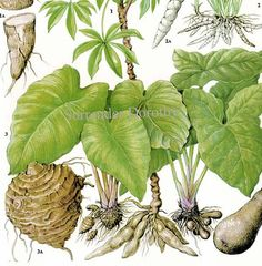 Cassava Arrowroot Taro Tannia Chart Root Vegetable Food Botanical Lithograph Illustration For Your Vintage Kitchen 181