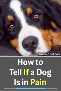 How to Tell If a Dog Is in Pain: Dogs cant cry out loud in pain that its owner can quickly understand. They tend to suffer in silence. Here are 10 warning signs that your dog is in pain. Dog Health Tips, Pet Health, Health Care, Millionaire Lifestyle, Dog Care Tips, Pet Care, Dog Grooming Shop, Wild Animals Pictures, Cool Dog Houses