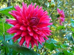 Lacinated/Fimbriated dahlia  'Showcase Magnifico' - Dahlia Barn