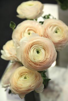 New Ranunculus Varieties >Venere' – an apricot and cream confection