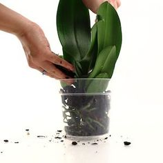 benefits of repotting your orchid