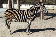 zebra photos - Google Search