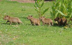 Cappybara!!! I want! It's a big guinea piggy
