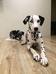 Dalmatians Haidi&Fox