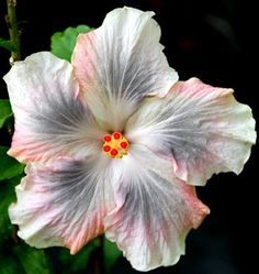 """'Magic Crystal' blooms with a 5-7"""" blue and pink flower, that softens to a silvery white in hot weather. 'Magic Crystal' is the offspring of..."""