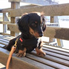 Little black and tan doxie