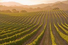 Santa Ynez, California has delicious wines.  © Chuck Place Most Popular Red Wine, University Of California Davis, Santa Ynez Valley, Santa Barbara County, Cabernet Sauvignon, Wine Country, Wine Tasting, Pretty Pictures, Grape Vines
