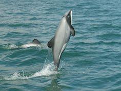 Lindo este Golfinho-de-Hector  Nova Zelândia