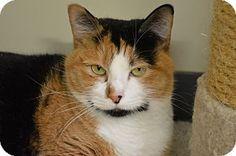 House Springs, MO - Domestic Shorthair. Meet Olivette, a cat for adoption. http://www.adoptapet.com/pet/14754017-house-springs-missouri-cat