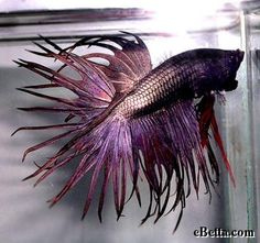 This purple betta fish is a crowntail male. He is really more of a copper color but appears purple under the lighting. Pretty Fish, Beautiful Fish, Beautiful Creatures, Animals Beautiful, Cute Animals, Colorful Fish, Tropical Fish, Freshwater Aquarium, Aquarium Fish