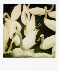 Swans remind me of the Bellaire Hotel. So elegant.