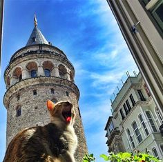 Hard not to be jealous of this yawning friend of ours sleeping underneath the magnificence of the Galata Tower's panoramic terrace! Turkey Country, Cat City, Lazy Cat, Scenery, Louvre, Around The Worlds, Animals, Kitty Kitty, Shutter