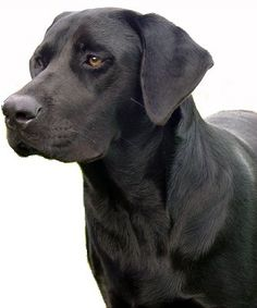 Frequently Asked Questions About Labrador Retriever dogs.