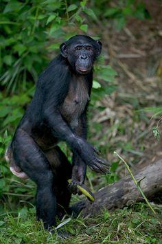 Bonobo Pan Paniscus Female Orphan