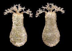 Difflugia pyriformis, amoebae