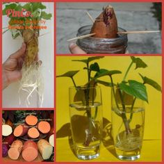 "(link) Prolific Sweet Potatoes ~ Article is full of information, plus details on ""how to"" start your own Sweet Potatoes Plants from a ... SWEET POTATO! ~ NOTE: Sweet Potato Plants make for hardy, beautiful vines which are great in planters, for the ""fill & spill"" effects. Also versatile as indoors (houseplant) & outside plants. Grow for the tubers (potatoes) or for ornamental purposes. *will grow the tubers within containers, too. ~ for more great PINs w/good links visit @djohnisee ~ have…"