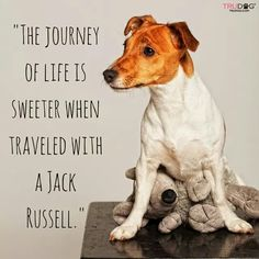 Here are some quotes and sayings why Jack Russell Terriers are the best dogs. Jack Russell Terriers, Parson Jack Russell, Jack Russell Mix, Jack Russell Puppies, Parson Russell Terrier, Rat Terriers, Fox Terrier, White Terrier, Terrier Mix