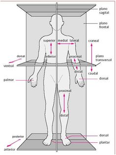 The body in situ anatomical correct position when studying anatomy. – Body Positivity - Agli The body in situ anatomical correct position when studying anatomy. Human Body Anatomy, Human Anatomy And Physiology, Muscle Anatomy, Medical Anatomy, Medical Coding, Medical Terminology, Nursing Students, Massage Therapy, Pnf Stretching