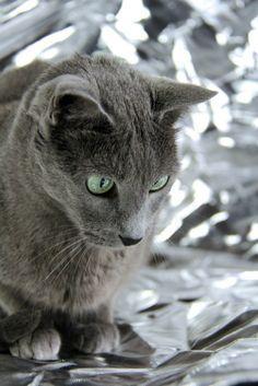 Ares  #russischblau #russianblue #katzen #cats