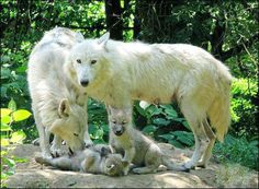 In the Company of Wolves Photo