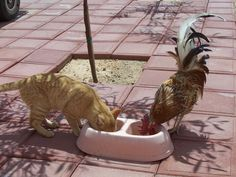 My Rooster Buddy and Stripes his Kitty Friend eating lunch together.  KQCK Radio and Television Network www.kqck.com