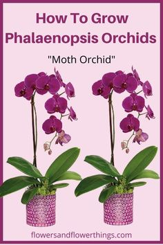 Learn how to grow Phalaenopsis Orchids and care tips that will help you get healthy plants. Phalaenopsis orchids are some of the most common orchids in. Orchid Plant Care, Orchid Plants, Moth Orchid, Phalaenopsis Orchid, Orchid Seeds, Flower Seeds, Indoor Orchids, Indoor Plants, Orchid Flower Arrangements