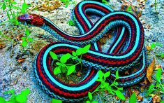 California Red-sided Garter Snake Can't wait to own another one of these beautiful little guys