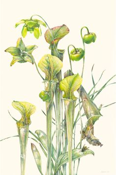 Kate Nolan - thistle bomb jean emmons - sarracenia Hiroe Sasaki - Cax Para Alan Singer - Plants of Bogs and Swamps Vick. Botanical Flowers, Botanical Prints, Hyperrealistic Art, Color Pencil Art, Botanical Drawings, Nature Prints, Flower Pictures, Watercolor Illustration, Flower Art
